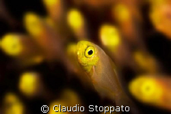 glass fish by Claudio Stoppato